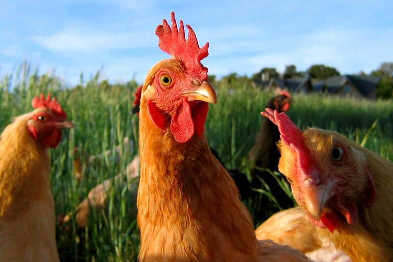 Aumento-de-precios-del-pollo-y-carne-SUNDEE-Escasez-2-800x533