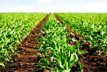 ¡IMPERDONABLE! Falta de insumos impide siembra de al menos 5 mil hectáreas de maíz