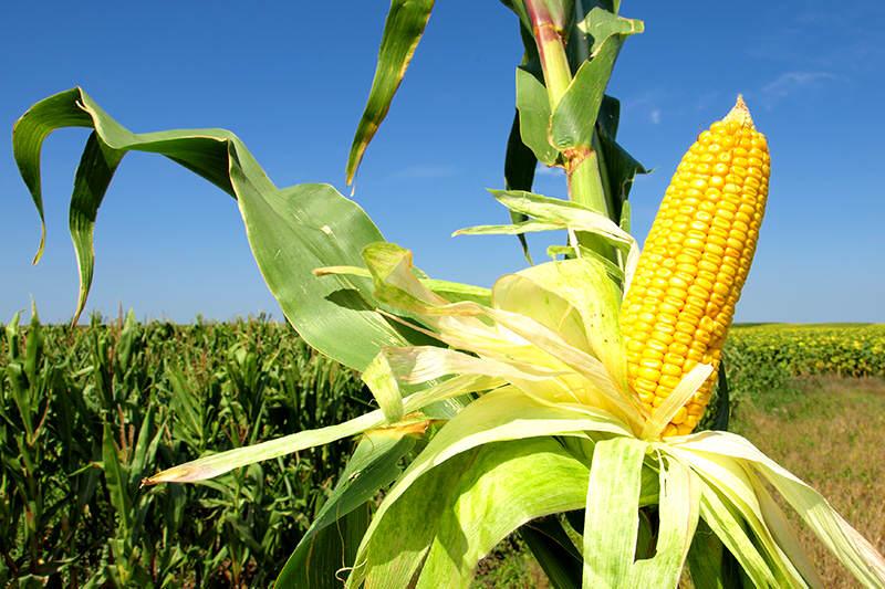 produccion-maiz-3