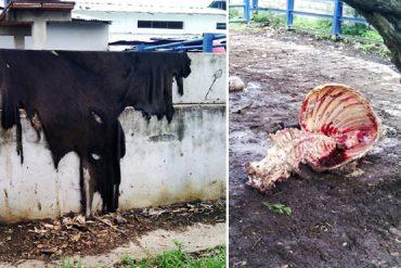 """¡DANTESCO! Matan a otra vaca en matadero del estado Guárico """"para robarse la carne"""""""