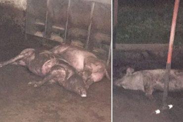¡NUEVOS DELITOS EN SOCIALISMO! Robaron 33 cerdos y sacrificaron a 15 más en el Zulia