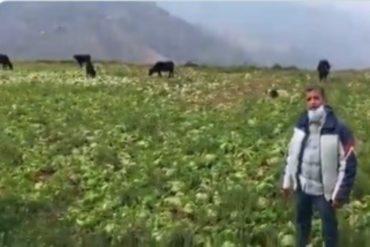 ¡MUY GRAVE! Cosechas de hortalizas se pierden en Mérida por falta de gasolina (+Video)